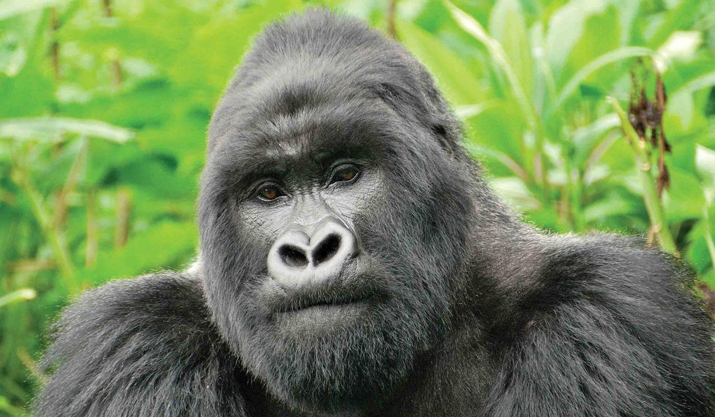 Kenya Tanzania Rwanda Mountain Gorilla Safari
